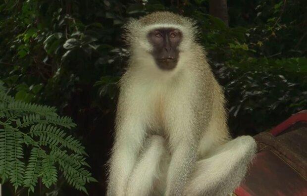 Hinterhältiger Affe. Quelle: YouTube Screenshot