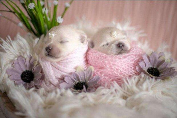 So berührend: Ein Fotoshooting von neugeborenen Spitz-Welpen hat die Herzen der Welt zum Schmelzen gebracht
