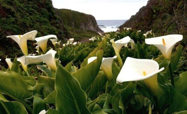 Tal der wilden Callas: ein magischer Ort an der Pazifikküste