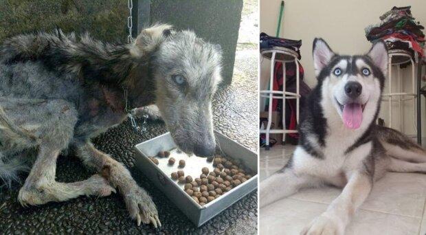 Wie ein erschöpfter Husky auf den Bali-Inseln gerettet wurde
