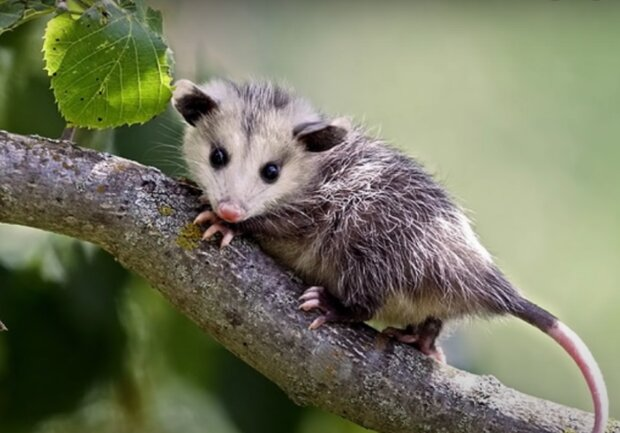 Opossum-Baby. Quelle: Screenshot Youtube