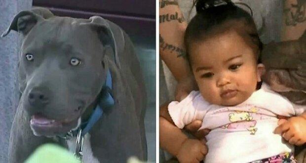 Pitbull packte das Baby und zog. Der Besitzer des Hundes weiß immer noch nicht, wie er dem Hund danken soll