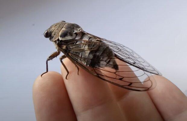 Die Zikaden. Quelle: Screenshot YouTube