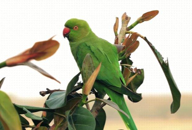 Langschwänziger grüner Papagei. Quelle: Screenshot Youtube