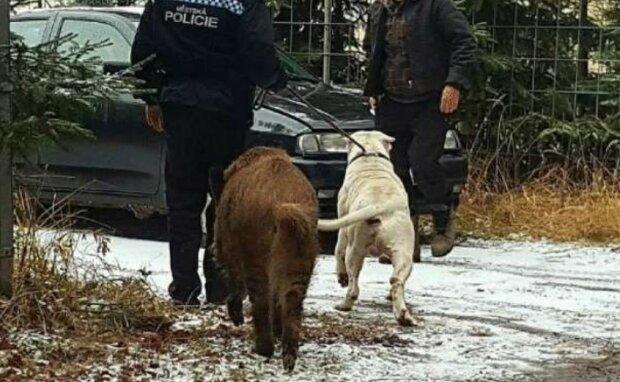 Starke Freundschaft: Das Wildschwein bestand darauf, dass die Polizei seinen Hund zurückgibt