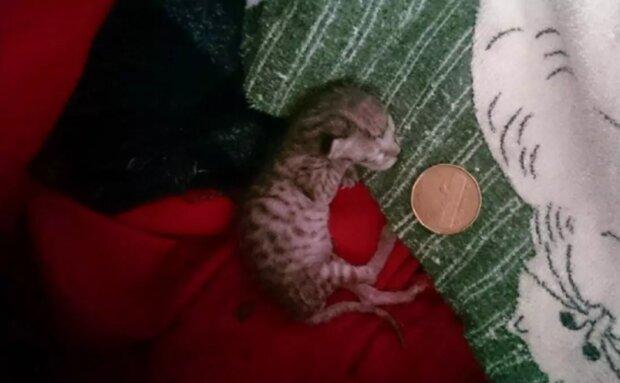 Das Neugeborene wog 40 Gramm: wie eine Katze ohne Hilfe von Tierärzten gerettet wurde