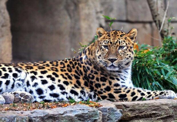 Hohes Alter: Der fernöstliche Leopard Lord feierte seinen dreizehnten Geburtstag