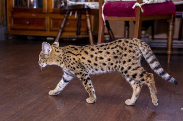 Wie ein Paar ein süßes Kätzchen kaufte, das sich schließlich in einen Tiger verwandelte