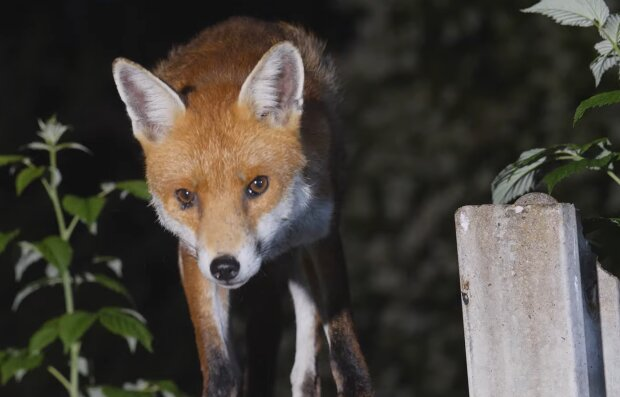 Fuchs im Garten. Quelle: YouTube Screenshot