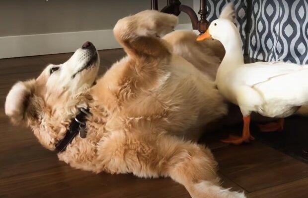 Ein Hund und eine Ente. Quelle: YouTube Screenshot