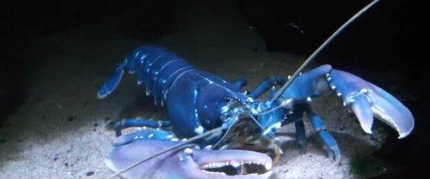 Blauer Hummer. Quelle: Youtube Screenshot