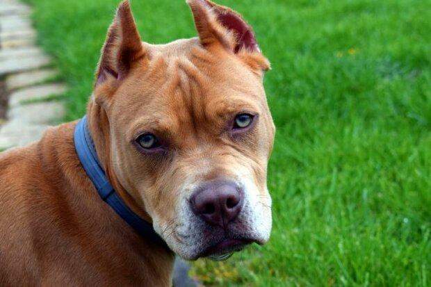 Der 11-jährige Pitbull ließ die Besitzer nicht ins Haus, der kluge Hund fühlte, dass etwas nicht stimmte und rettete Menschen