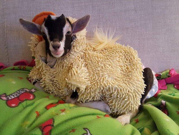 Eine unruhige Ziege kann sich nur in einem Ententanzug beruhigen