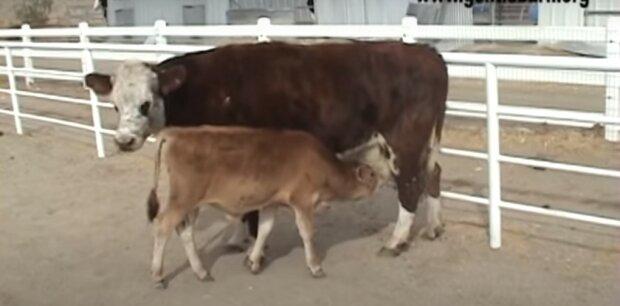 Die gerettete Kuh hörte nicht auf zu weinen, bis sie ihr Baby sah