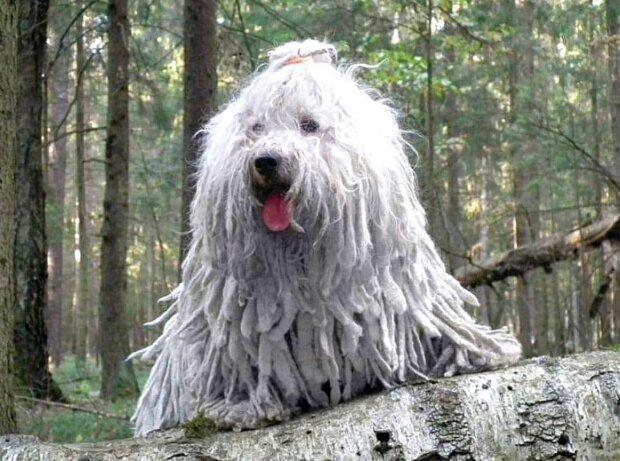 Puli: eine Hunderasse, die Dreadlocks anstelle von Haaren hat