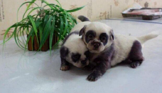 Niedliche pandaähnliche Welpen wurden bei einem gewöhnlichen Hund geboren