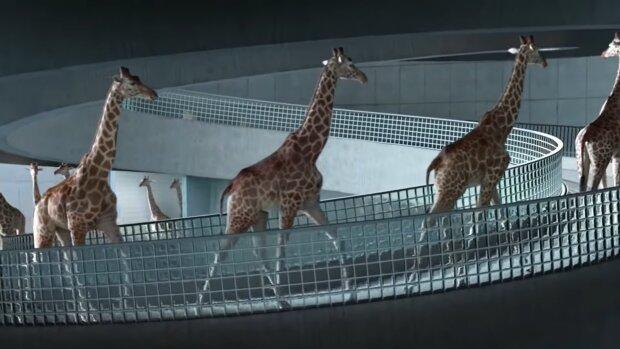 Giraffen. Quelle: Screenshot Youtube
