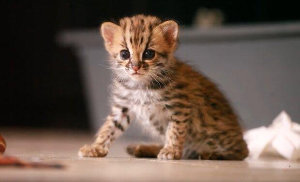 Leopard-Katze. Quelle: YouTube Screenshot