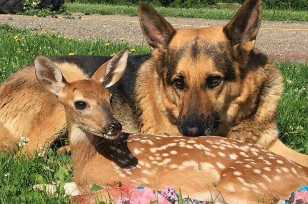 Die beste Babysitter: Ein Schäferhund kümmert sich um verwaiste Rehkitzbabys, die seine Besitzerin findet