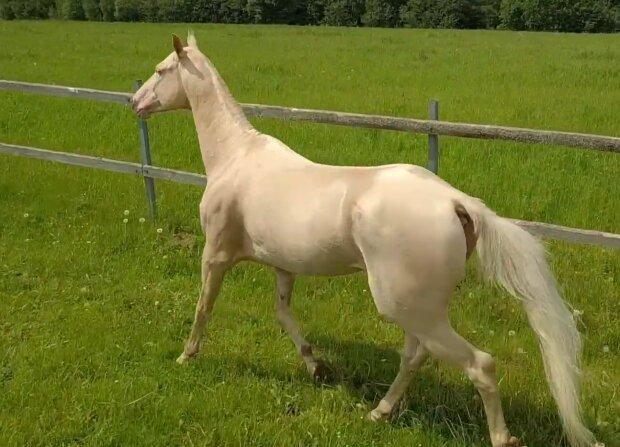 Akhal-teke Pferd. Quelle: YouTube Screenshot
