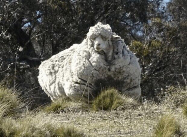 In Australien wurde ein Widder gefangen, der vor dem Besitzer davonlief und 5 Jahre lang umherwanderte