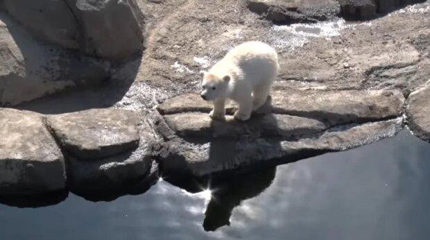 Ein Eisbärchen überlebte dank des Menschen: Wie es einige Jahre später aussieht