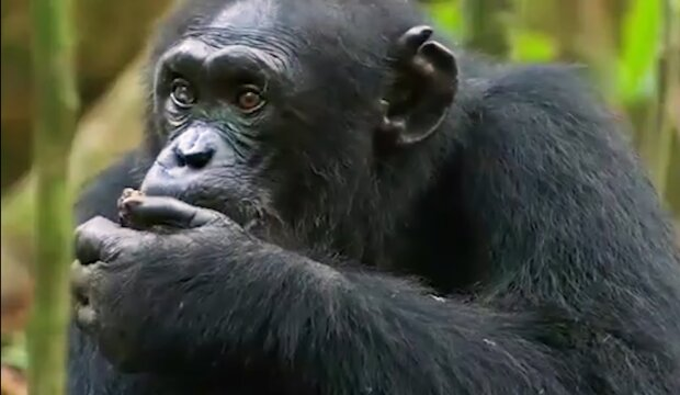 Schimpanse im Zoo. Quelle: YouTube Screenshot