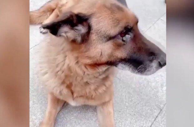 """Der alte Diensthund """"weinte"""", als er seinen Meister traf: sie hatten sich 1,5 Jahre lang nicht gesehen"""