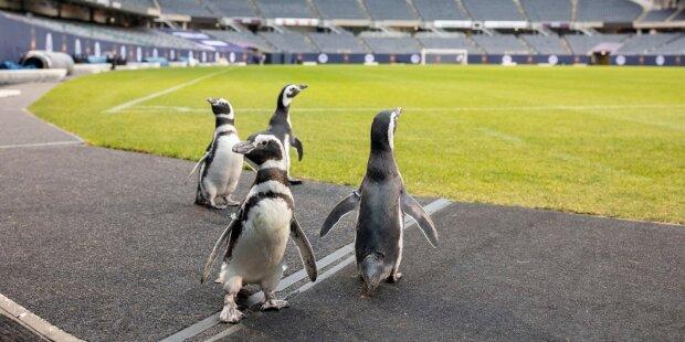 Pinguine im Fußballstadion. Quelle: wi-fi.com