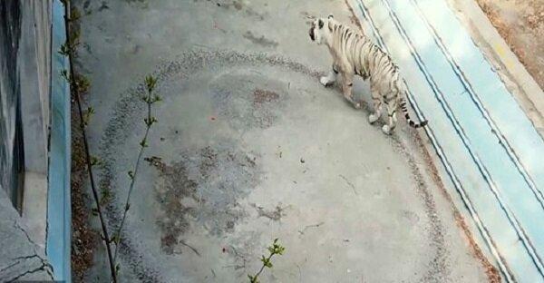 Psychologen halfen dem Tiger, der aus Traurigkeit einen Kreis in seiner Voliere zertrampelte