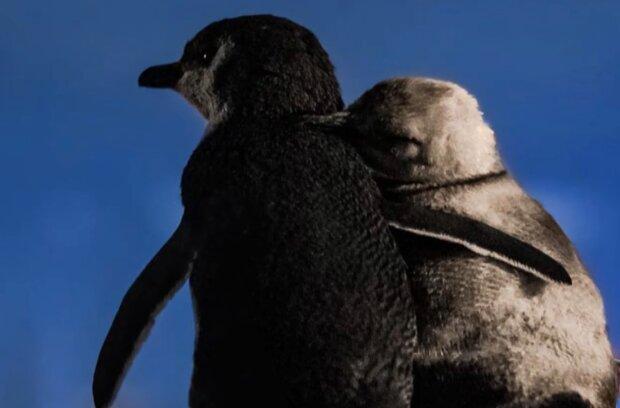 Zwei Pinguine, die ihre Partner verloren haben, treffen sich, um einander zu unterstützen