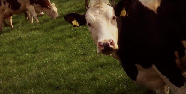 Die Kühe der Gemeinde Deszczno. Quelle: Screenshot YouTube