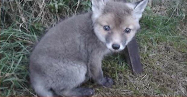 Ein Mann rettete einen Fuchs, der seinen Kopf in eine Blechdose steckte und einen rührenden Dank erhielt