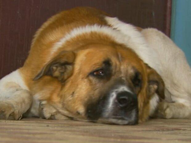 Hund hat eine Frau gerettet. Quelle: Screenshot Youtube