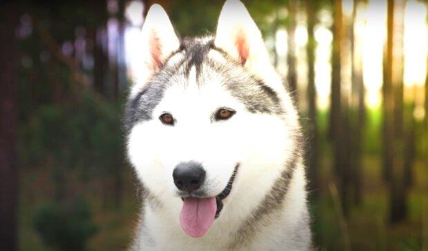 Husky jammerte und wühlte in der Ecke: als der Besitzer den Boden öffnete, musste er dringend den Tierarzt anrufen