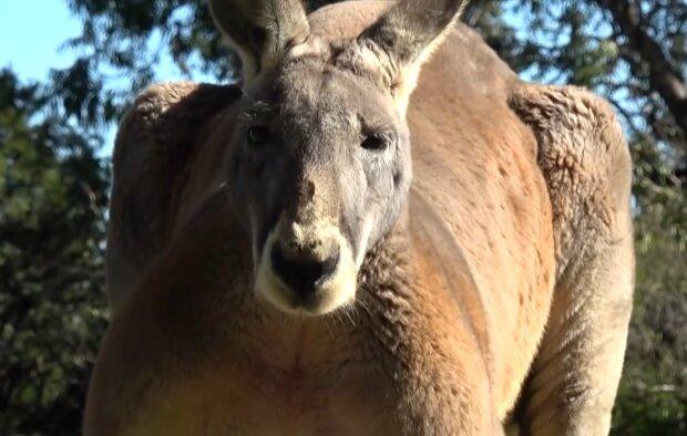 Känguru-Rettung. Quelle: YouTube Screenshot