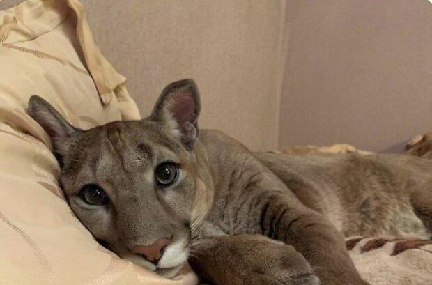 Der kleine Puma wurde aus dem Zoo gerettet, jetzt ist es ein süßer Haustierkater