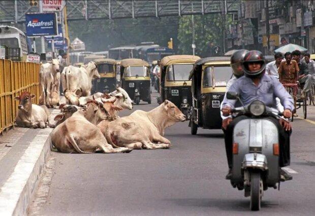 Heilige Landstreicher: Wie obdachlose Kühe in Indien zum Problem wurden