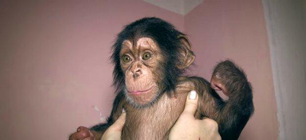 Verlassenes Schimpansenbaby umarmt Plüschtier: Er ist nicht mehr allein