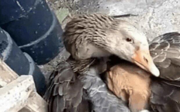Um den kleinen Hund warm zu halten, hat ihn die Gans mit dem Flügel umarmt