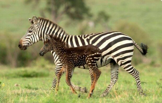 In Kenia wurde ein ungewöhnliches Zebra geboren: Das Baby ist nicht gestreift, sondern gefleckt