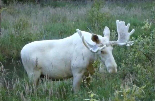Ein schwedischer Forscher filmte einen sehr seltenen weißen Elch, nach dem er drei Jahre lang gesucht hatte