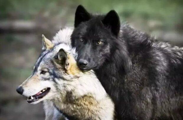 Die Wölfe kamen direkt zum Tierarzt: Die schwangere Wölfin brauchte Hilfe
