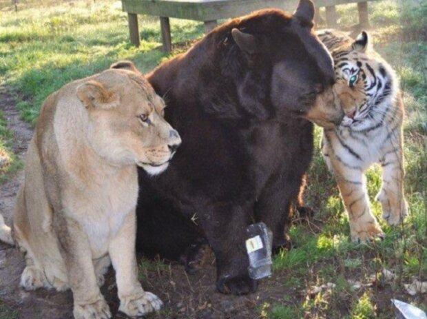 Untrennbare Freunde: ein Bär, ein Tiger und ein Löwe kamen in Konnex