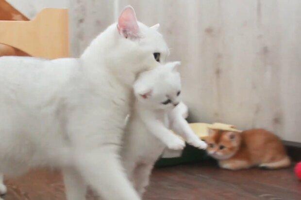 Katzenmutter trägt Kätzchen. Quelle: Screenshot Youtube