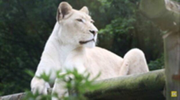 Die Löwin war traurig und verlor an Kraft, bis sie ihren neuen Nachbarn sah