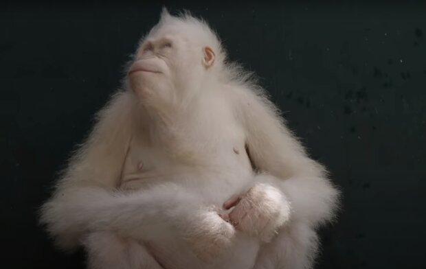 Der einzige Albino-Orang-Utan der Welt. Quelle: Screenshot YouTube