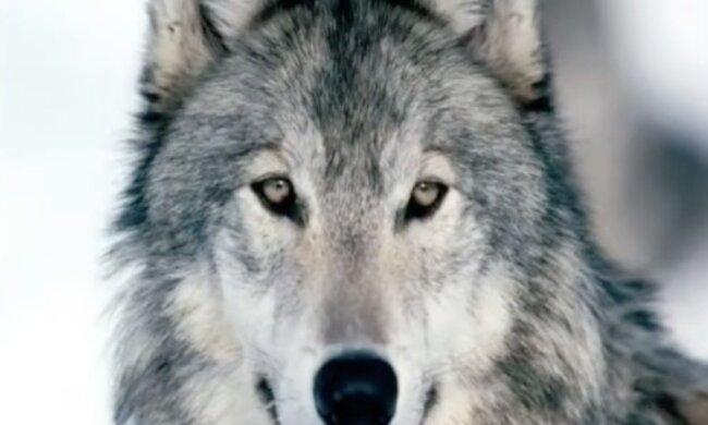 Wolf. Quelle: Screenshot YouTube