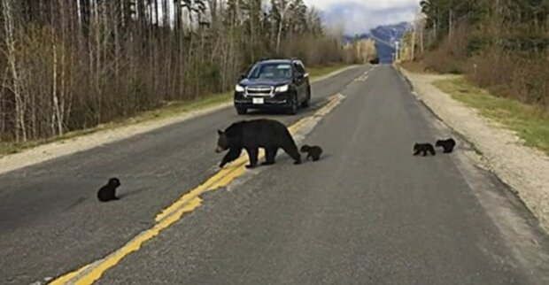 Als ein Polizist einen Bären sah, der versuchte, Jungen über die Straße zu bringen, blockierte er die Bewegung