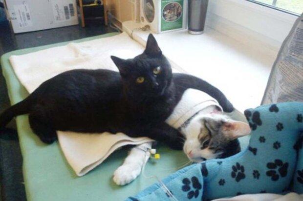Geschwänzter Krankenpfleger: Ein geretteter Kater kümmert sich jetzt um kranke Tiere aus dem Tierheim